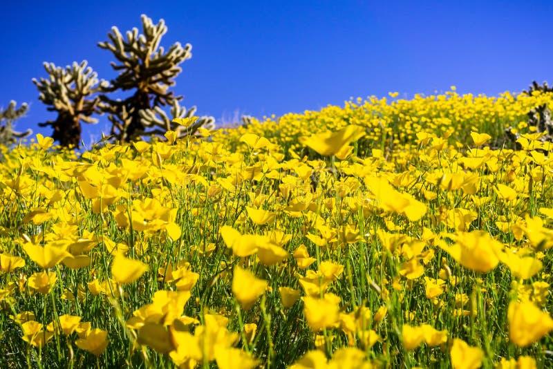 Fält av den pygmévallmoEschscholzia minutifloraen som växer under en toppen blom i den Anza Borrego ökendelstatsparken, södra Kal royaltyfria bilder