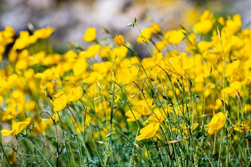Fält av den pygmévallmoEschscholzia minutifloraen som växer under en toppen blom i den Anza Borrego ökendelstatsparken, södra Kal royaltyfri bild