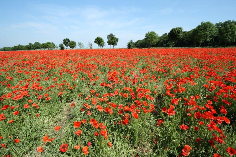 Fält av den röda vallmo royaltyfria foton