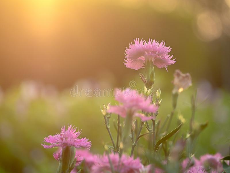 Fält av den rosa nejlikan; blomma blommor på en bakgrundssolnedgång arkivfoton