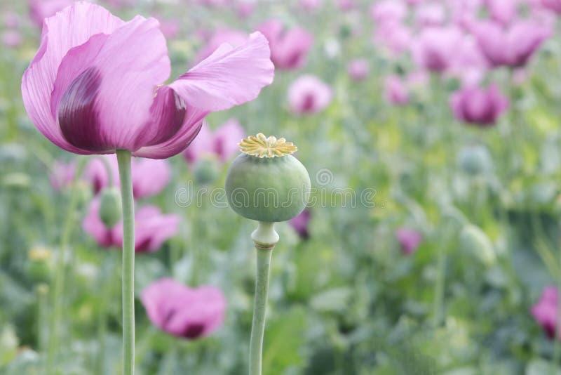 Fält av den rosa opiumvallmo arkivfoton