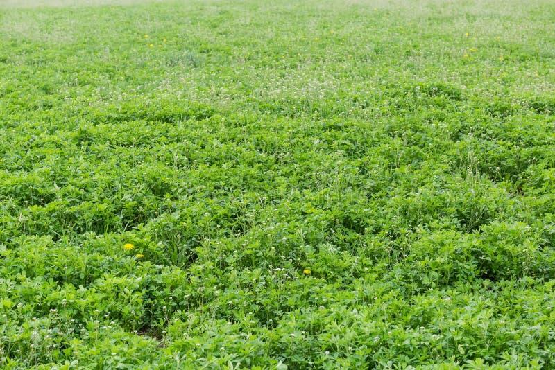 Fält av den unga alfalfan med andra växter royaltyfria foton