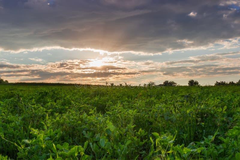 Fält av den unga alfalfan på solnedgången royaltyfria foton