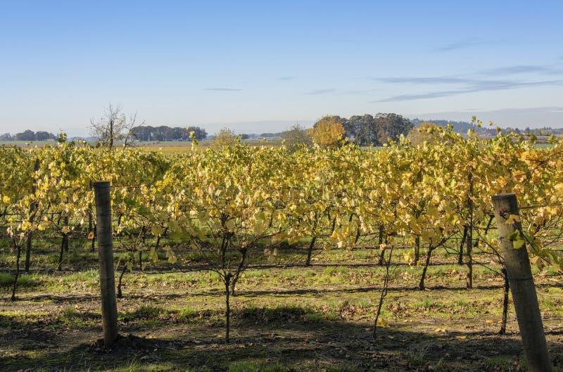 Fält av den vingårdWillamette dalen Oregon royaltyfri fotografi