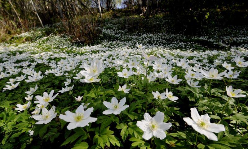 Fält av den wood anemonen royaltyfria bilder