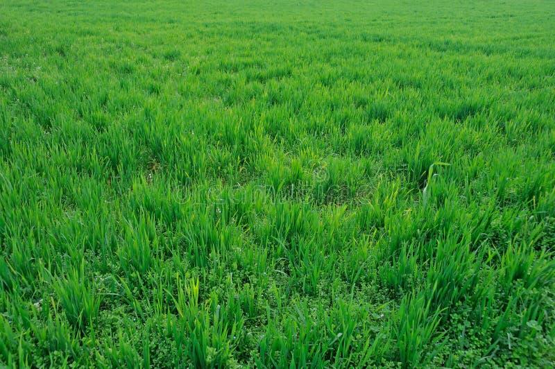 Fält av det gröna vetefältet arkivbilder