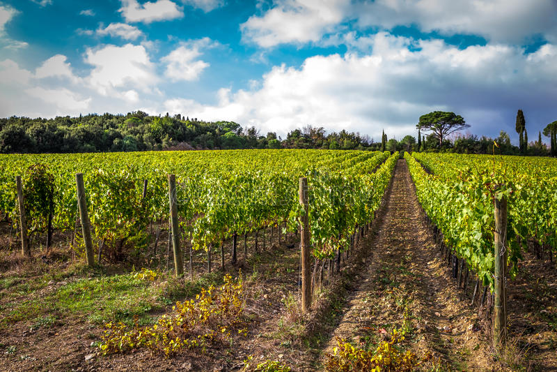 Fält av druvor i hösten royaltyfri bild