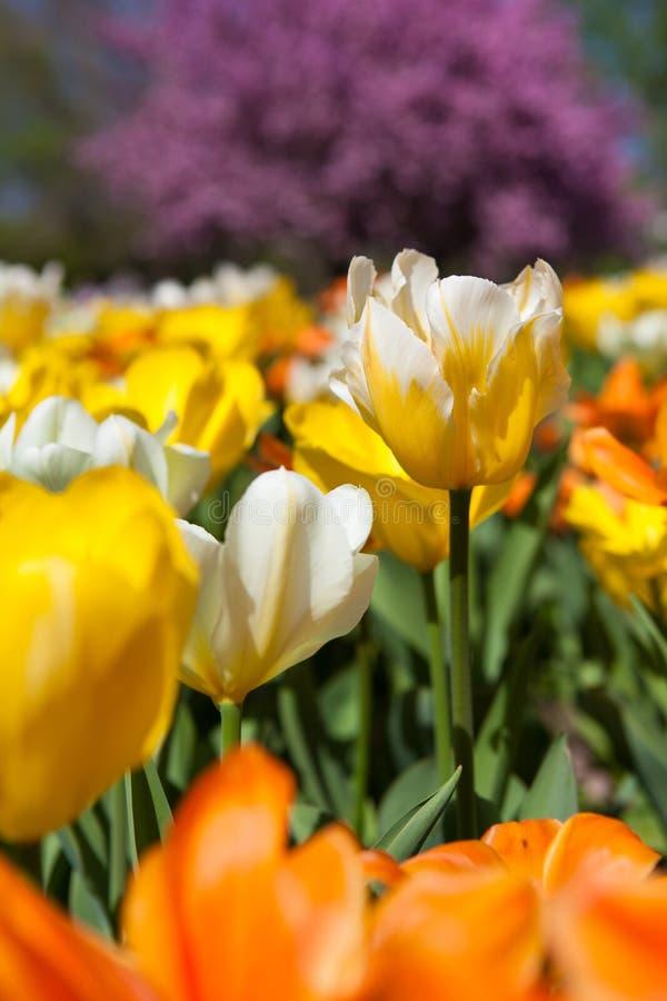 Fält av färgrika tulpan i solen royaltyfri bild