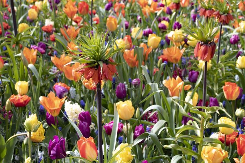 Fält av färgrika tulpan och blommor arkivbilder