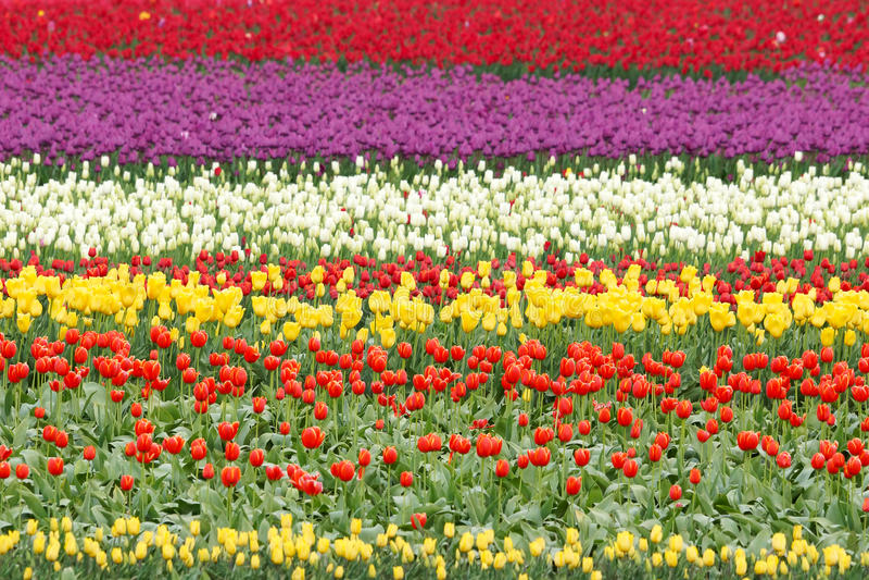 Fält av färgrika tulpanblommor royaltyfria foton