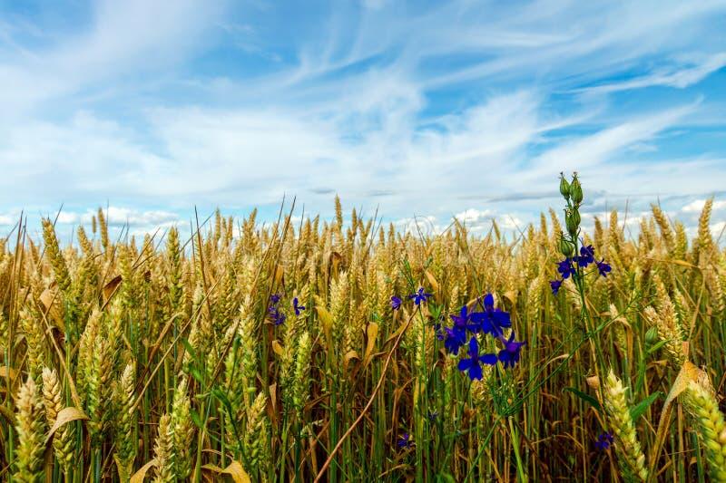 Fält av fullvuxet gult vete mot en blå himmel arkivfoton