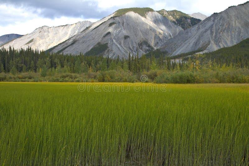 Fält av gränsen - gröna träskgräs på Muncho sjön, nordliga British Columbia arkivfoto