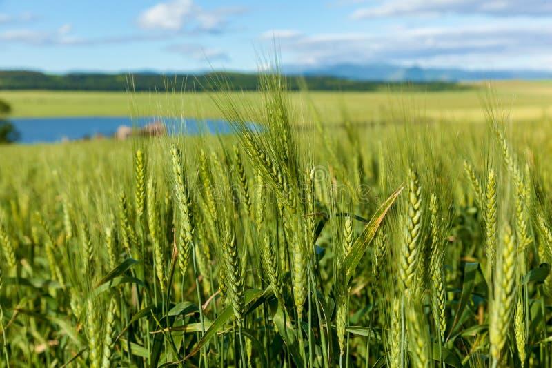 fält av grönt omoget korn Spikelets av korn Fältet är korn, lantligt landskap royaltyfri bild