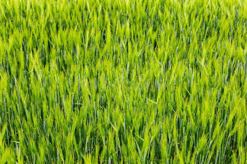 Fält av grönt vete arkivfoton
