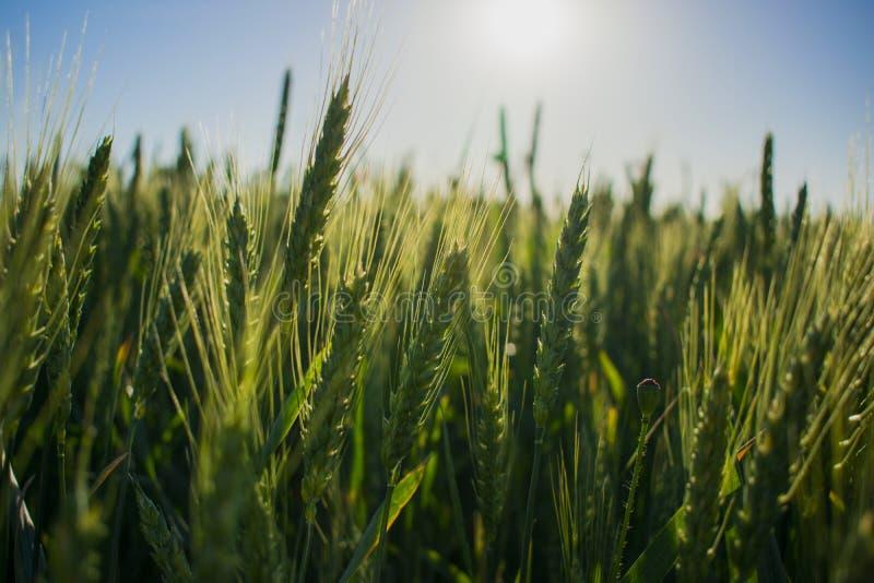 Fält av grönt vete under solen royaltyfria foton