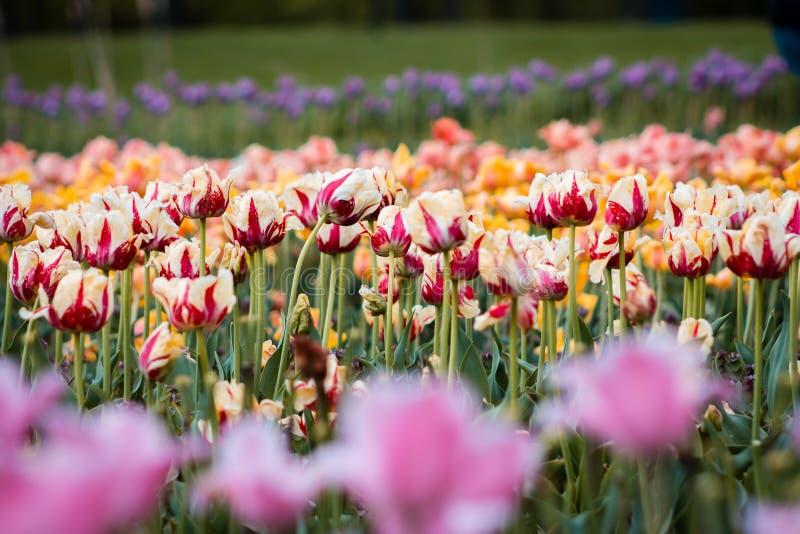 Fält av gula och röda tulpan som blommar i vår i Holland Michigan royaltyfri fotografi
