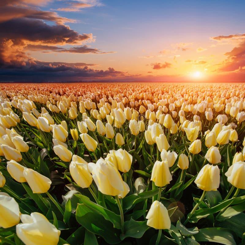 Fält av gula tulpan på solnedgången arkivfoton