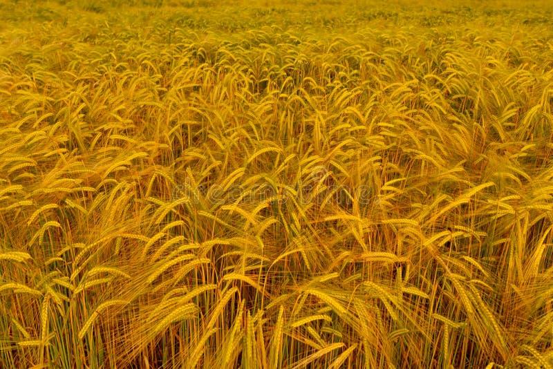 Fält av guld- korn royaltyfri foto