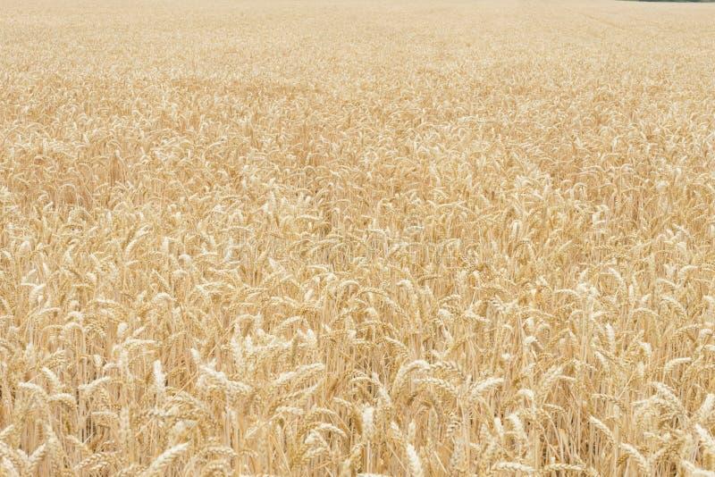 Fält av guld- vete på det fullmogna slutet av sommar arkivfoto