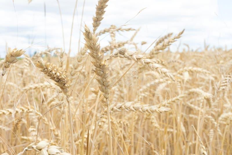 Fält av guld- vete på det fullmogna slutet av sommar arkivfoton