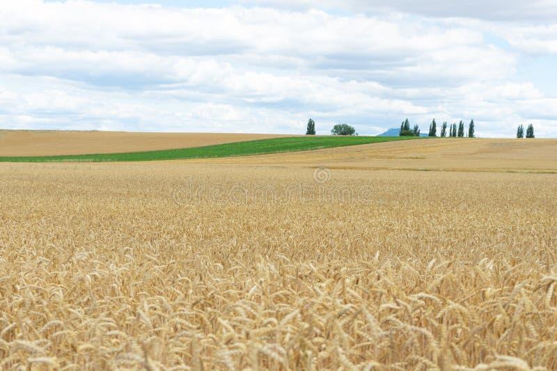 Fält av guld- vete på det fullmogna slutet av sommar arkivbilder