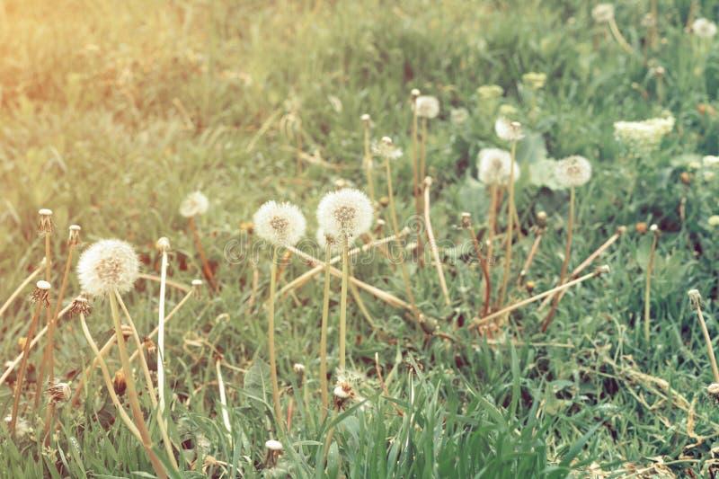 Fält av härliga fluffiga maskrosor utomhus arkivfoton