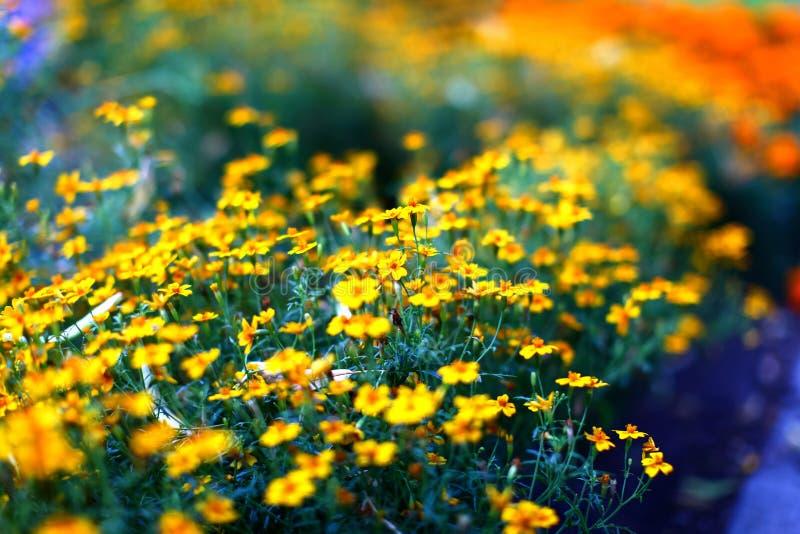 Fält av härliga gula ringblommablommor royaltyfri fotografi