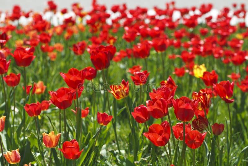 Fält av härliga röda tulpan royaltyfri fotografi