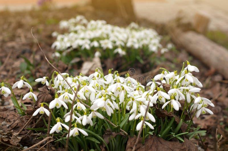 Fält av härliga snödroppar Closeup av för snödroppe för tidig vår som den vita växten växer tätt in i trädgården arkivbilder