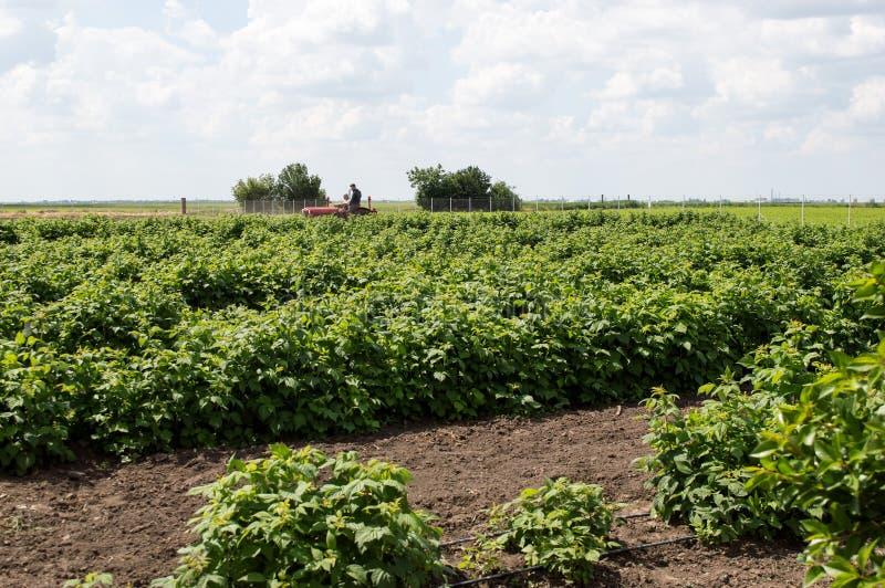 Fält av hallonplantor som planteras i propra rader royaltyfria foton
