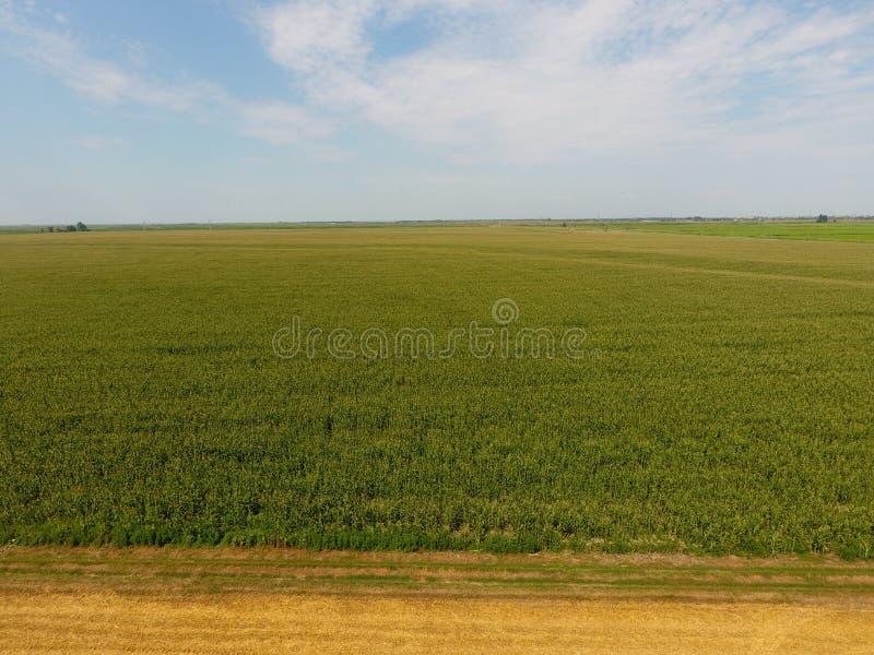 Fält av havre och delen av fältet av att slutta vete Grön havre blommar på fältet Period av tillväxt och mogna av havremajskolvar arkivfoton