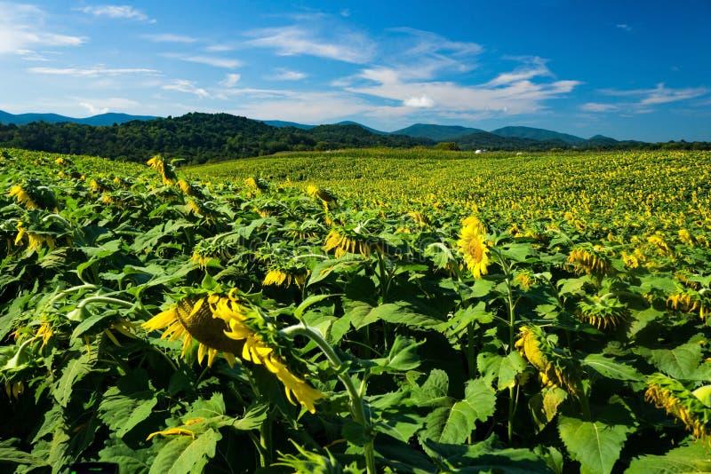 Fält av jätte- solrosor och berg royaltyfri foto