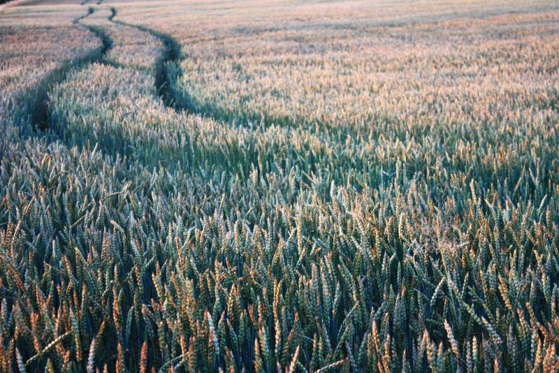 Fält av korn arkivfoto