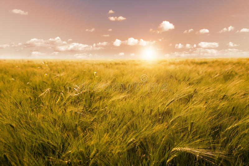 Fält av korn i soluppgång royaltyfri foto