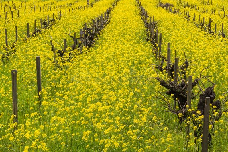 Fält av lös senap i blom på en vingård på våren, Sonoma dal, Kalifornien arkivfoton