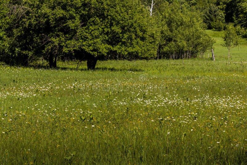 Fält av lösa blommor i nordliga Wisconsin royaltyfri foto