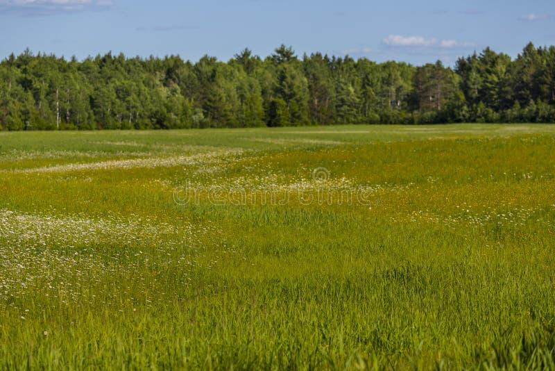 Fält av lösa blommor i nordliga Wisconsin royaltyfria foton