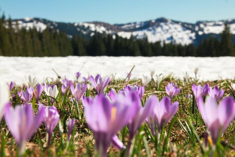 Fält av lösa purpurfärgade krokusar Dolda berg för snö i bakgrund royaltyfria bilder