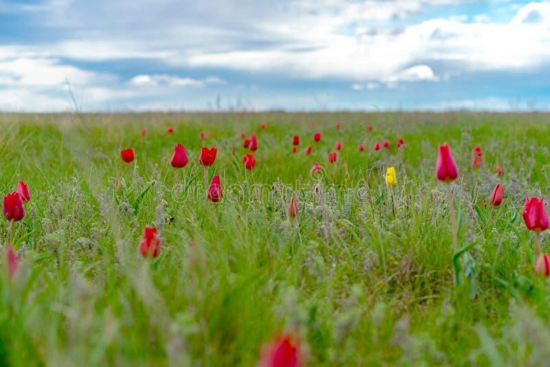 Fält av lösa röda och gula tulpan i vårstäpp royaltyfri fotografi