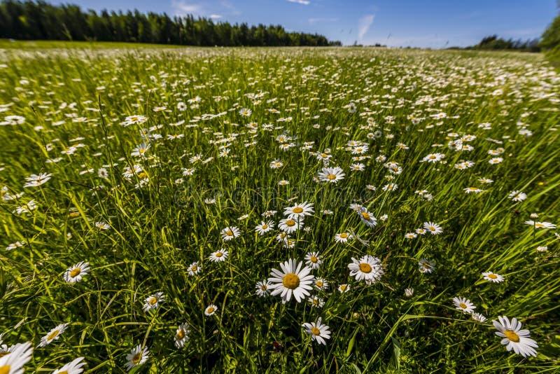 Fält av lösa tusenskönor i nordliga Wisconsin royaltyfri bild