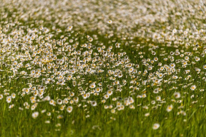 Fält av lösa tusenskönor i nordliga Wisconsin fotografering för bildbyråer