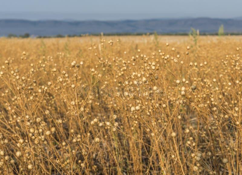 Fält av linfrö arkivfoto
