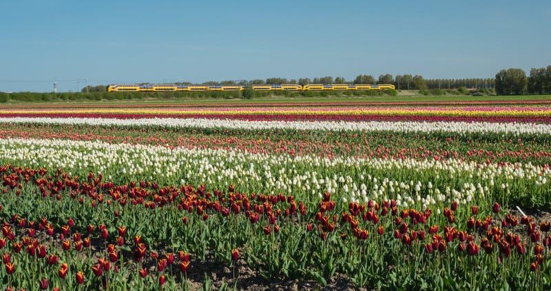 Fält av mångfärgade tulpan arkivbild