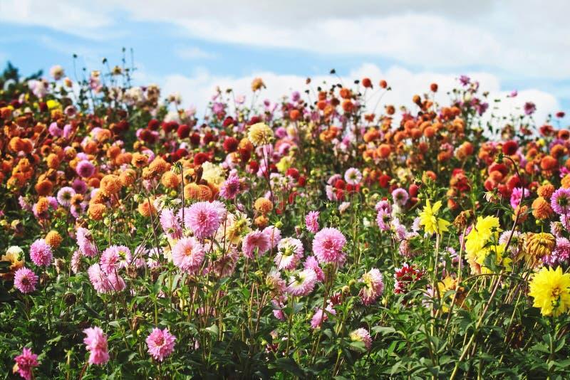 Fält av oavkortad blom för dahliablommor som visar en regnbåge av färg arkivfoton