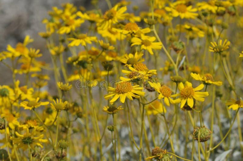 Fält av oavkortad blom för gula vildblommor på ökengolv royaltyfria foton