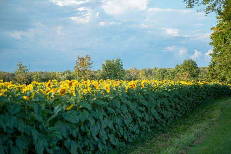 Fält av oavkortad blom för solrosor royaltyfria foton