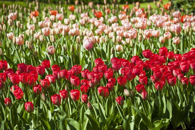 Fält av olika tulpan med röda tulpan på en förgrund och rosa färgtulpan på bakgrund arkivbild