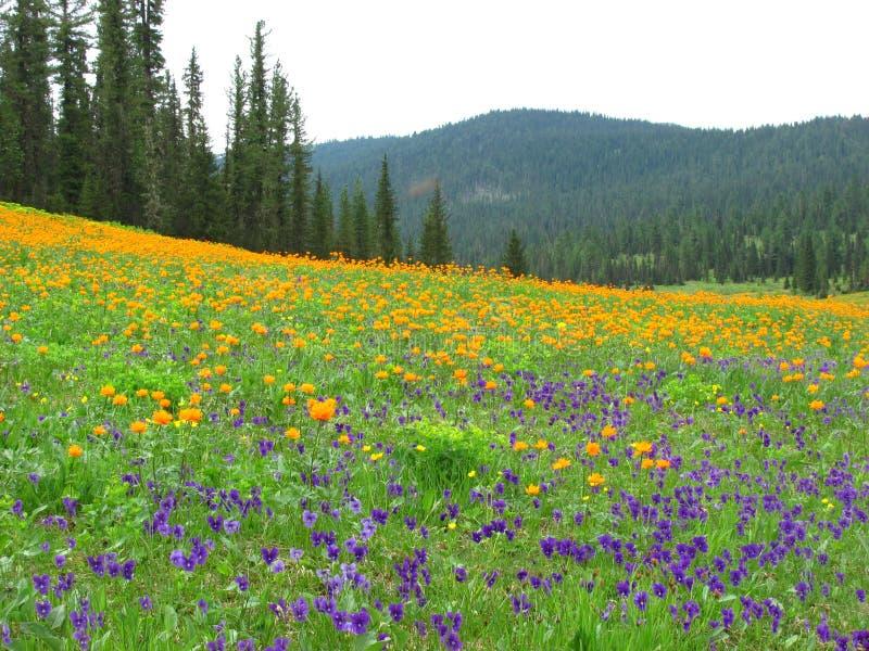 Fält av pansies och jordklot-blommor som omges av den Siberian taigaen arkivbilder