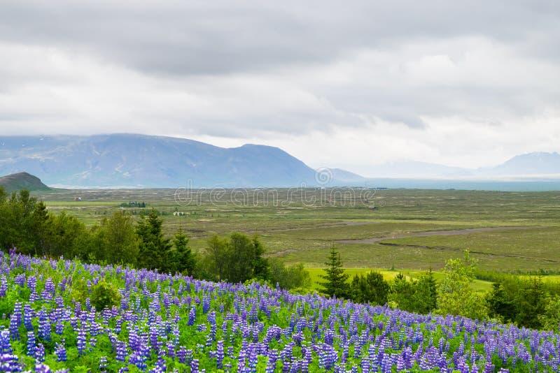 Fält av purpurfärgade Nootka blommor, nära den Thingvellir nationalparken arkivfoto