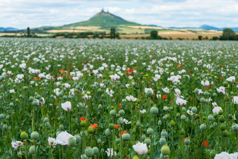 Fält av röda blommor för vallmo och gröna huvud arkivfoton